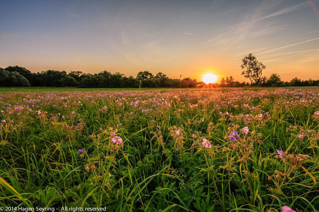Flower field in the evening
