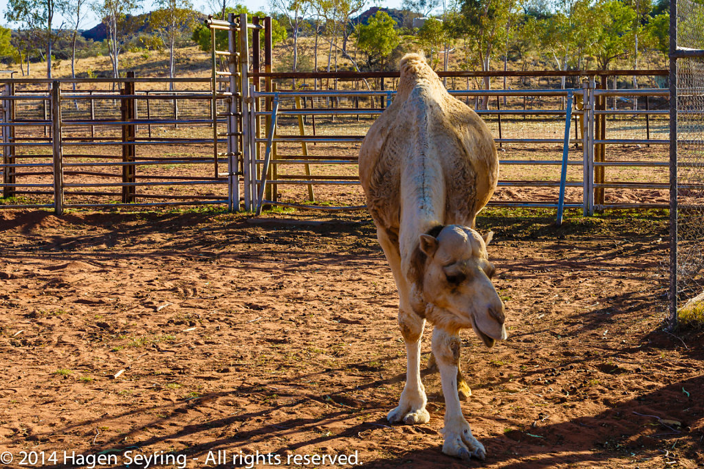 Camel in the Outback Camel Farm