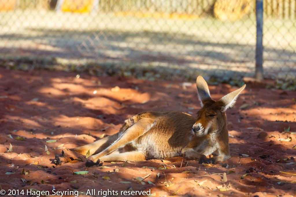 Kangaroo in the Outback Camel Farm