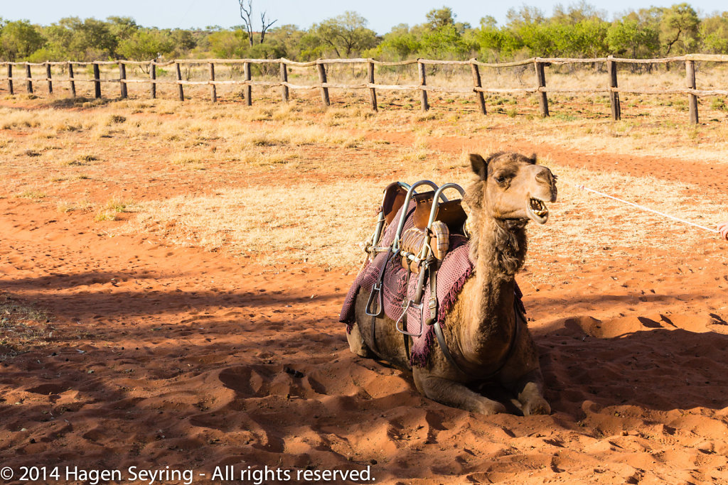 A camel which doesn't restist to stand up