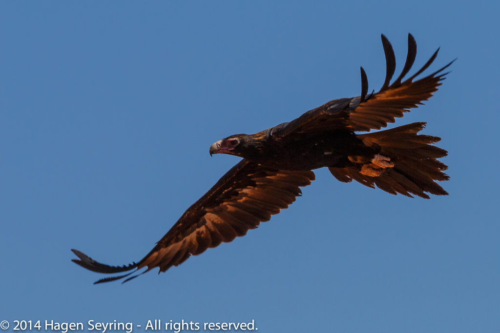 Eagle at the Mt Ebenezer Roadhouse