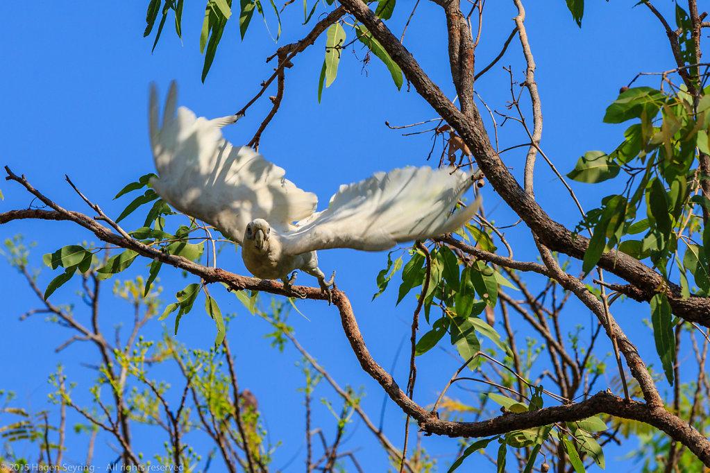 Flying off Cockatoo