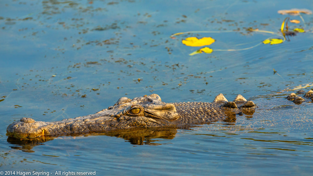 Close up of a 4 meter long Saltwater Crocodile swimming in the Yellow Water