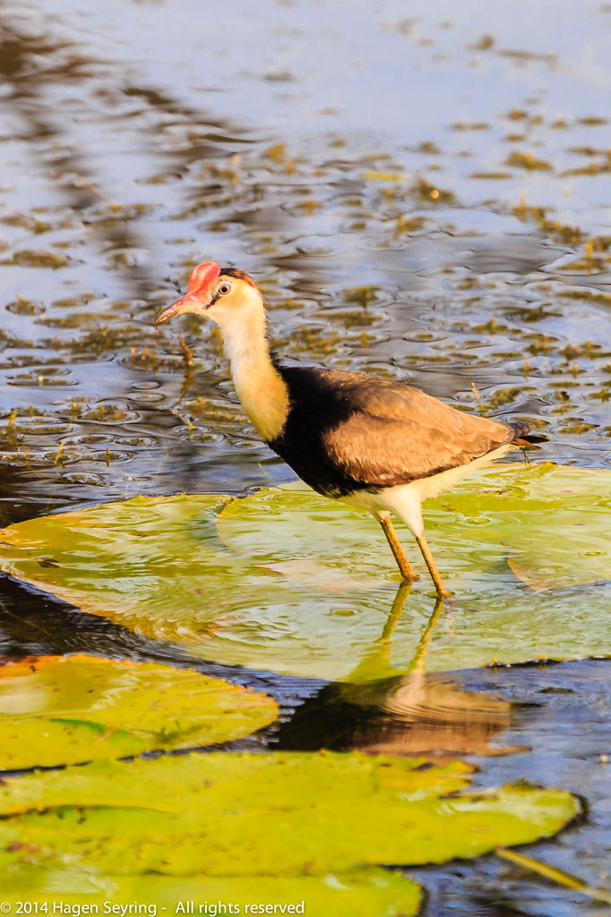 Sinking Com-crested jacana on a water lily leave