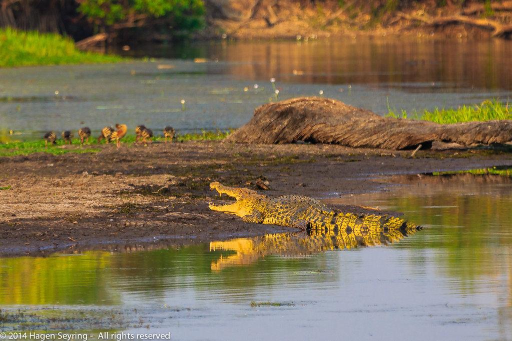 Saltwater crocodile in the Yellow Water