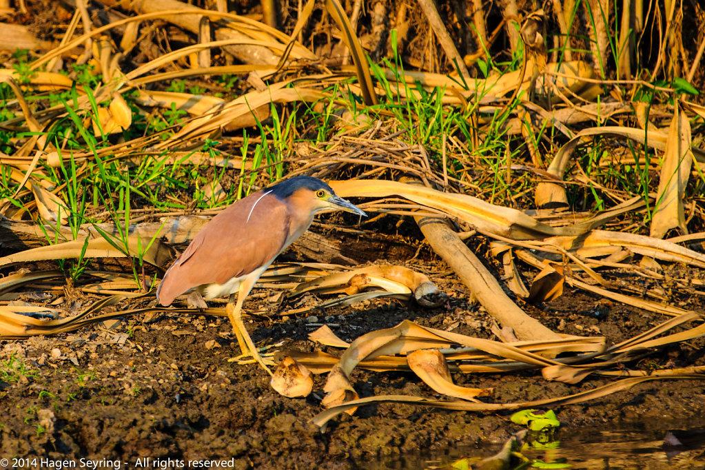 A Nankeen Night-heron standing on the riverside