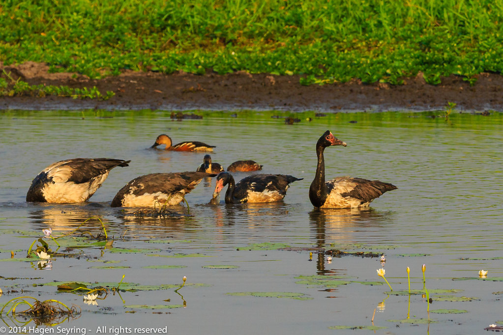Magpie gooses looking for feed