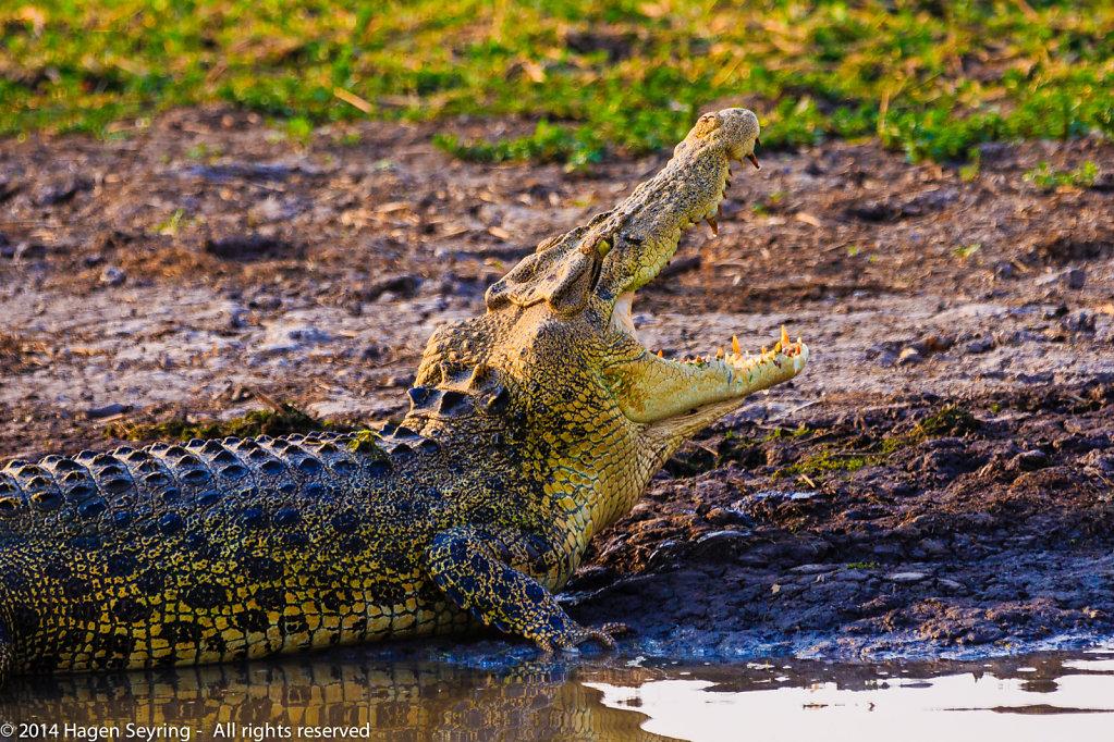 Moaning salt-water crocodile