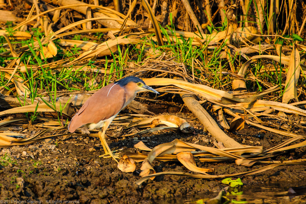 A Nankeen Night-heron standing on the riverside