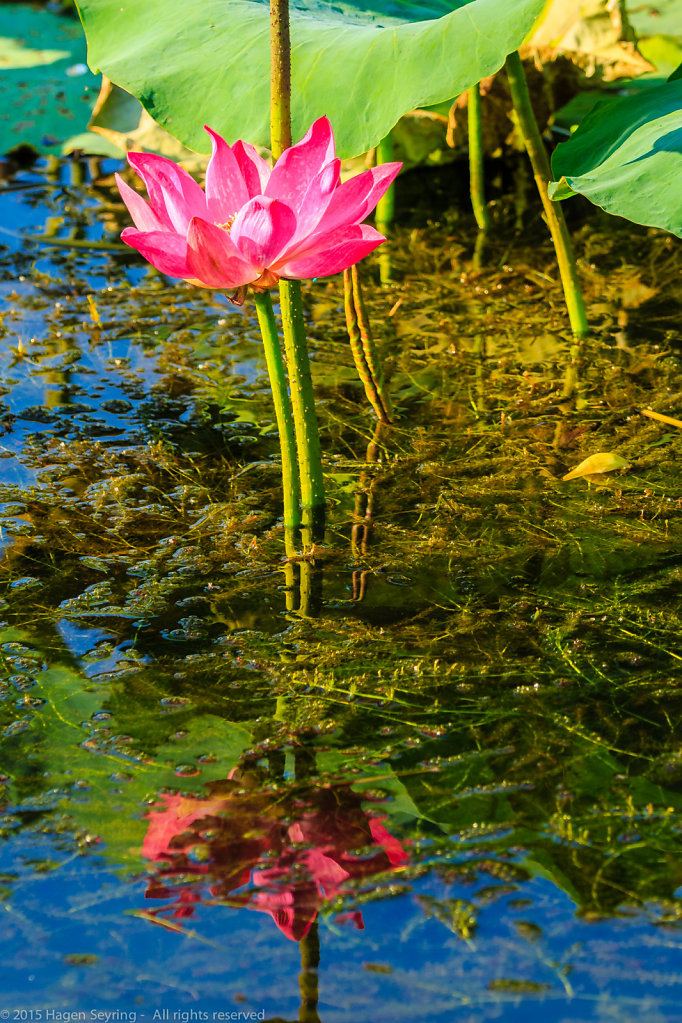 Water lilly on the riverside