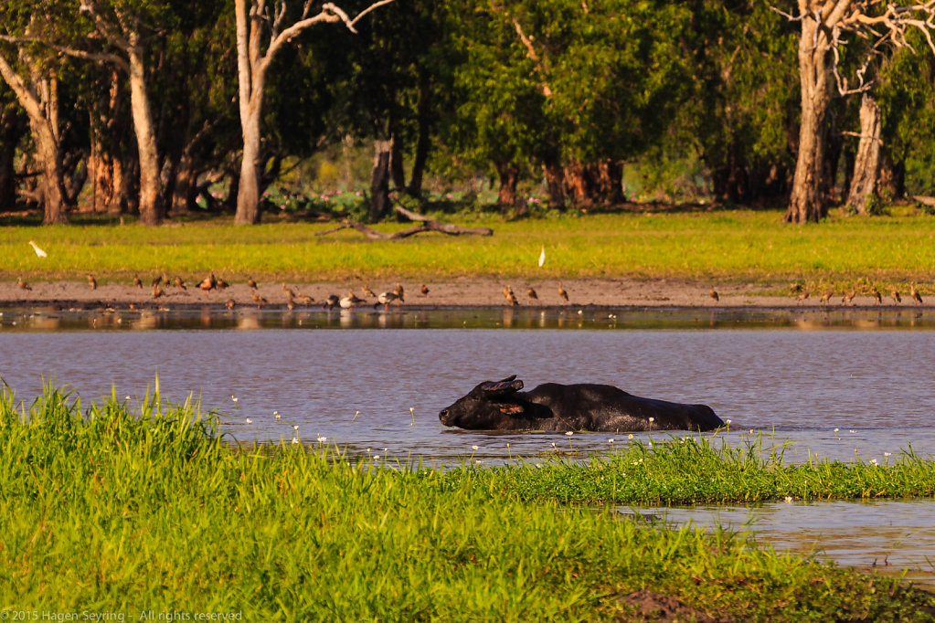 Water buffalo swimming in the river