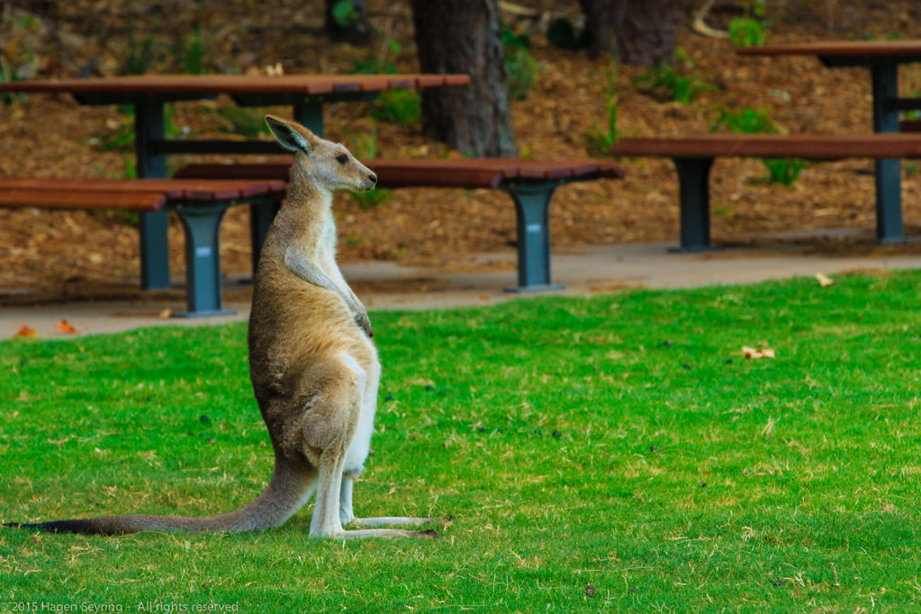 Kangaroo on North Stradebroke Island